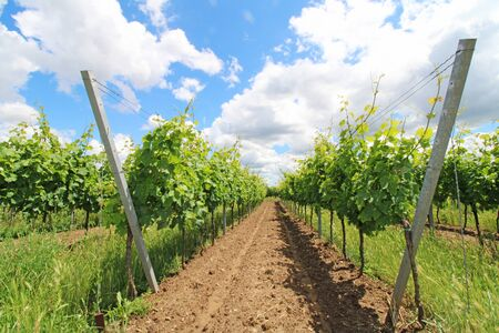 Vines in June in the Palatinate (Pfalz), Germany