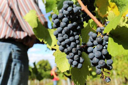 Grape harvest: Manual harvest of Spätburgunder grapes in the Palatinate, Germany