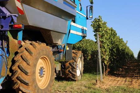 Vintage or grape harvest with harvester