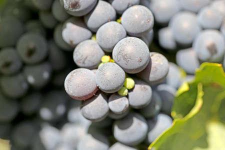 Close up of ripe blue grapes on vine Banco de Imagens