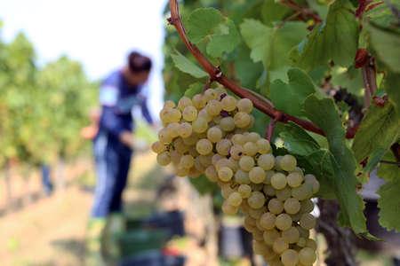 Grape harvest: Manual harvest of Chardonnay grapes