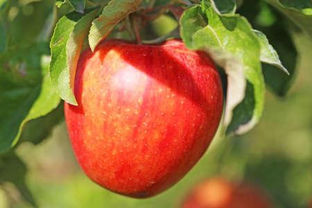 Ripe apple hanging on a tree