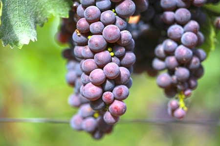 Close up of ripe blue grapes on vine Reklamní fotografie