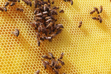 Close-up of a honeycomb with bees
