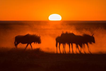 Sonnenaufgang in Etosha, Namibia mit einer Herde von Gnus im Vordergrund Standard-Bild