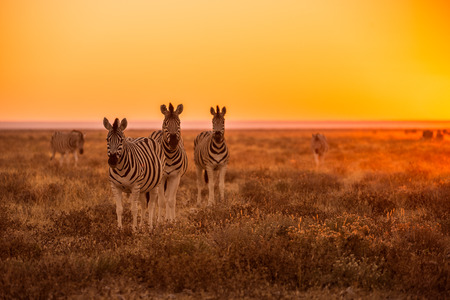 african animals: A herd of Zebra grazing at sunrise in Etosha, Namibia