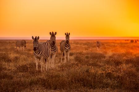 Eine Herde von Zebra Beweidung bei Sonnenaufgang in Etosha, Namibia