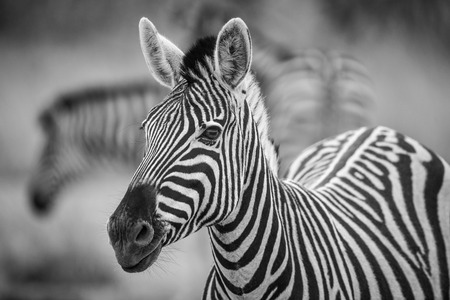 A herd of Zebra grazing in the early morning in Etosha, Namibia