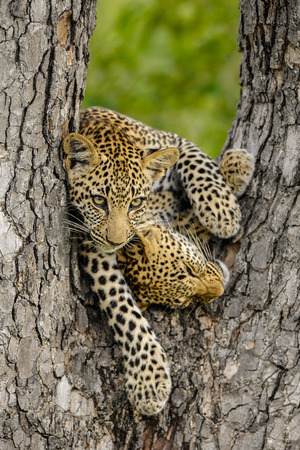 Two Leopard cubs playing in a tree
