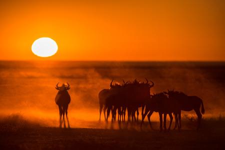 Sonnenaufgang in Etosha, Namibia mit einer Herde von Gnus im Vordergrund Standard-Bild - 29688560