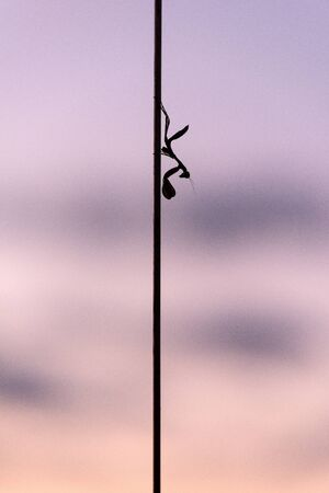 A vertical close up of a silhouetted praying mantis sitting on the aerial of the safari vehicle, with a purple sunset sky as a background, taken in the Madikwe game Reserve, South Africa. Standard-Bild