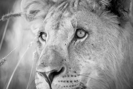 This black and white close up of a lioness was photographed at sunrise in the Etosha National Park, Namibia