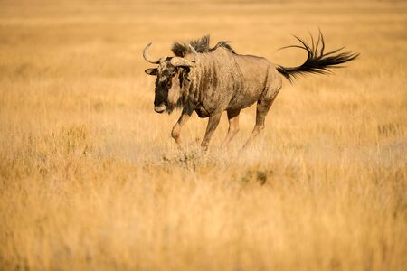 This running wildebeest was photographed at sunrise in the Etosha National Park in Namibia Standard-Bild