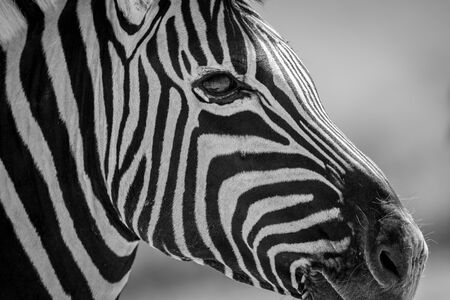 This black and white close up of a zebra's face was taken in the Etosha National Park in Namibia