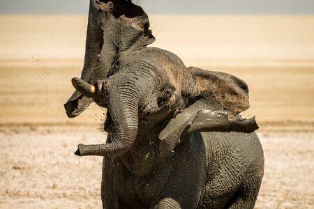 An elephant taking a mud-bath and shaking its head in Etosha, Namibia