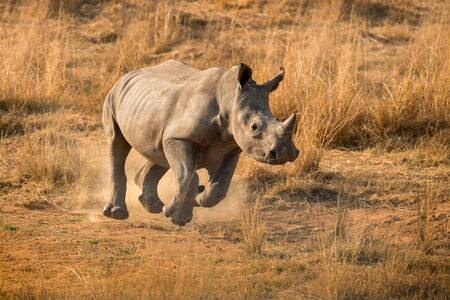 This running young rhino was photographed at sunrise in the Madikwe Game Reserve in South Africa.