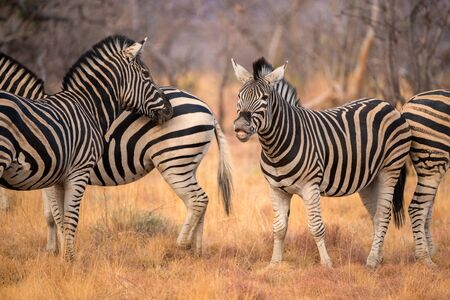 This herd of zebra was photographed at sunset in Madikwe Game Reserve, South Africa. They were playing and mock-charging each other.