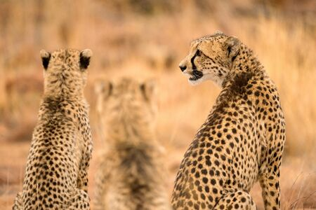 A close up photograph of a family of three cheetahs sitting side by side, taken at the Welgevonden Game Reserve in South Africa.