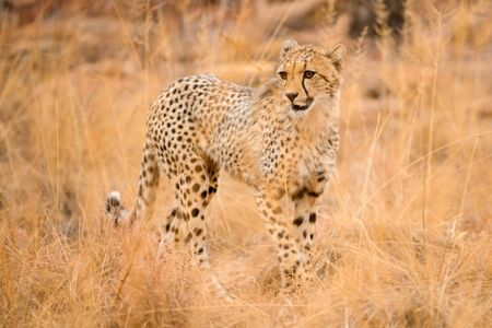 A close up photograph of a young, walking cheetah, taken in the Welgevonden Game Reserve in South Africa.