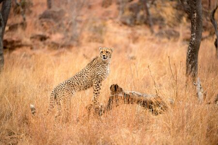 A close up photograph of a young, cheetah, standing on a dead tree stump, taken in the Welgevonden Game Reserve in South Africa.