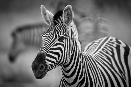 A black and white photograph of a herd of Zebra grazing in the early morning in Etosha, Namibia.