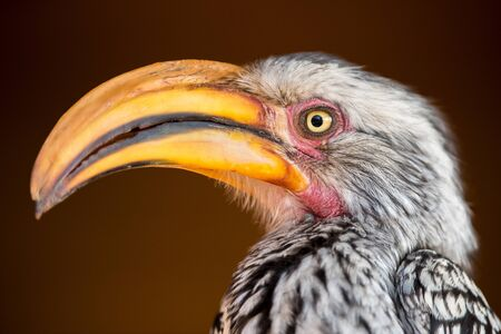 A close up profile portrait of a yellow-billed hornbill face taken in the Madikwe Game Reserve, South Africa.