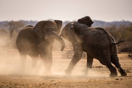 A dramatic photograph of two elephant bulls fighting for territory and kicking up dust at sunset, taken in the Madikwe Game Reserve, South Africa.