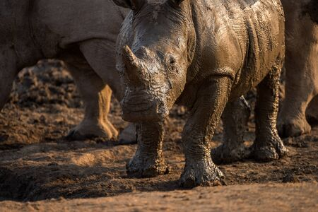 A beautiful close up portrait of a wet baby white rhino at sunset, covered in mud, taken in the Madikwe Game Reserve, South Africa.