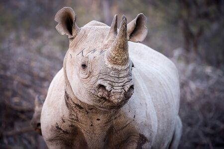 A close up portrait of an inquisitive black rhine taken early evening in the Madikwe Game Reserve, South Africa.