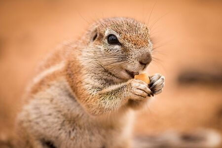 A detailed portrait macro shot of a ground squirrel, eating a nut in the Madikwe Game Reserve, South Africa. Standard-Bild