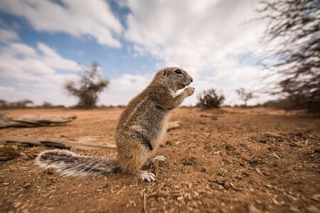 A detailed close up wide angle portrait macro shot of a ground squirrel, eating a nut in the Madikwe Game Reserve, South Africa.