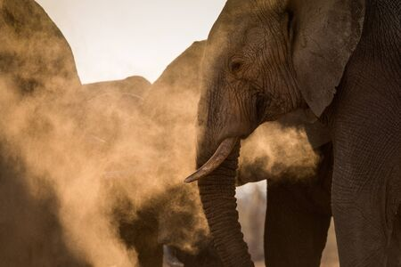 A beautiful golden portrait of an elephant herd taking a dust bath at sunset in the Madikwe Game Reserve, South Africa. Standard-Bild