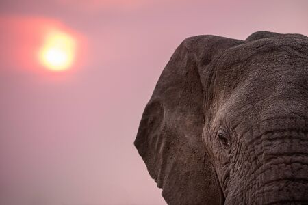 A dramatic close up portrait of an elephant's face taken against the sunset in the Madikwe Game Reserve, South Africa.