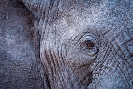 A beautiful close up portrait of an elephant's eye and face taken after sunset in the Madikwe Game Reserve, South Africa.