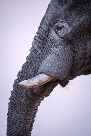 A beautiful vertical close up profile portrait of an elephant's eye, tusk and trunk taken after sunset in the Madikwe Game Reserve, South Africa.