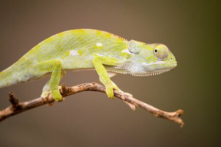 A beautiful close up macro photograph of a watchful chameleon walking on a tree branch, taken in the Madikwe Game Reserve, South Africa. Standard-Bild