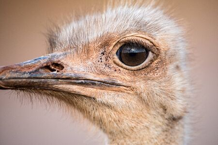 A detailed close up portrait of an ostrich face, with a huge eye looking at the camera, taken in the Madikwe Game Reserve, South Africa. Banque d'images
