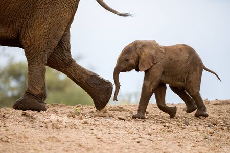 A beautiful cute photograph of a baby elephant walking behind its mother on a sand embankment, taken at the Madikwe Game Reserve in South Africa. Standard-Bild