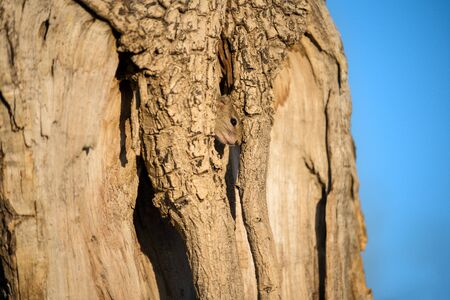 A cute close up portrait of a tree squirrel peeping out of a hole in a large old tree, taken just after sunrise in the Madikwe game Reserve, South Africa.