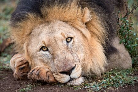 A beautiful portrait of a male lion lying on the ground, looking straight at the camera, taken in the Madikwe Game Reserve, South Africa.