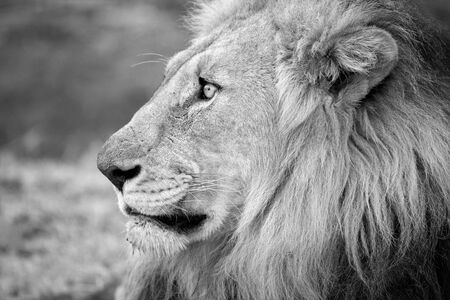 A beautiful black and white profile portrait of a male lion looking into the distance, taken at the Madikwe Game Reserve in South Africa.