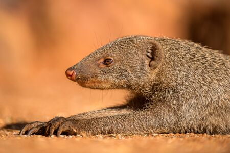 A close up portrait of a banded Mongoose lying on the ground at sunset, taken in the Madikwe Game Reserve, South Africa.