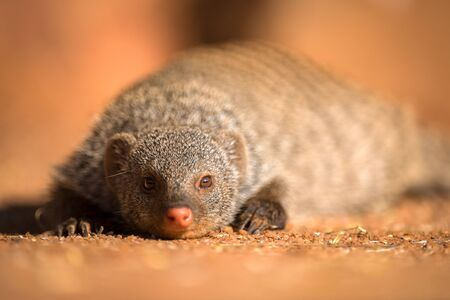 A close up portrait of a banded Mongoose lying on the ground looking straight at the camera at sunset, taken in the Madikwe Game Reserve, South Africa. Foto de archivo
