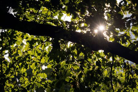 An abstract detail photograph of the sun shining through the green leaves of an oak tree in Cologne, Germany.