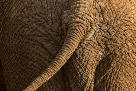 A textured close up photograph of the behind of an elephant and its tail, illuminated by a beautiful golden side light at sunset, taken in the Madikwe Game Reserve, South Africa.