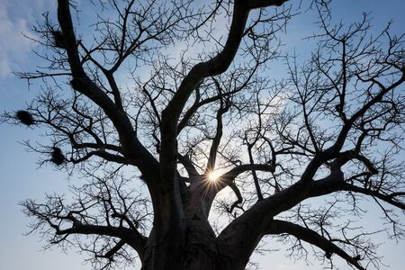 A photograph of the sun shining through the branches of an ancient Baobab tree, taken in the Pafuri Concession of the Kruger National Park, South Africa.