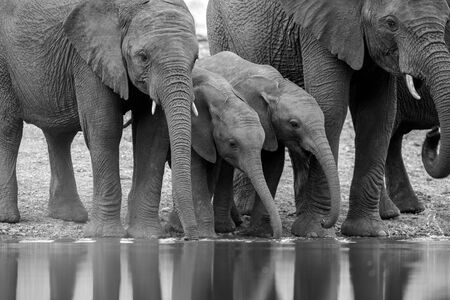 A black and white photograph of a herd of small elephants drinking at a waterhole in the Madikwe Game Reserve, South Africa.