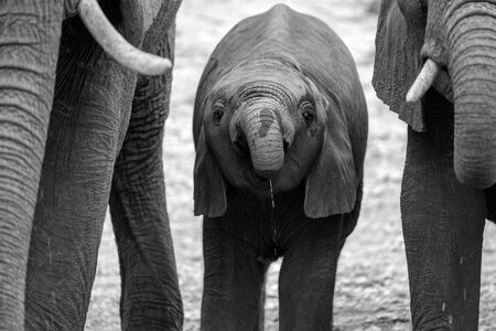 A close up black and white portrait of a baby elephant drinking at a waterhole in the Madikwe Game Reserve, South Africa. Standard-Bild