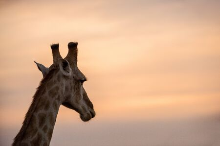 A beautiful photograph of a giraffe looking into the distance, against a dramatic sky at sunset, taken in the Madikwe Game Reserve, South Africa.