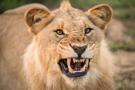 A dramatic close up of a snarling lioness, baring her teeth and canines, taken in the madikwe game Reserve, South Africa.